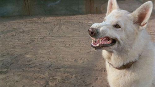 White_dog_17