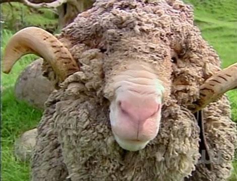 Antm14_8_sheep3